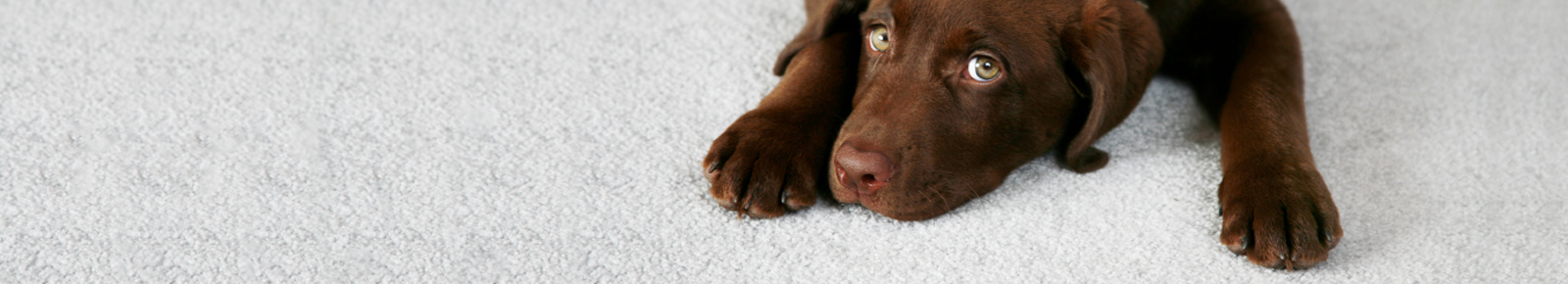 Dog laying on stain proof pet friendly carpet